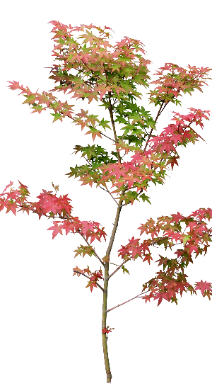 イロハモミジの画像 p1_29